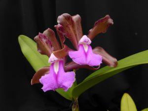 Cattleya bicolor var. brasiliensis