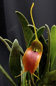 Masdevallia velifera