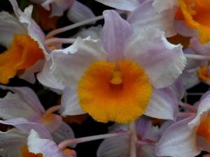 Dendrobium thyriflorum