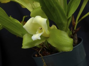 Lycaste macrophylla var. alba