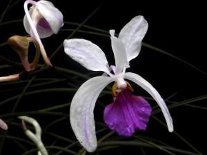 Holcoglassum kimballianum