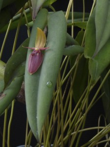 Pleurothallis ascera