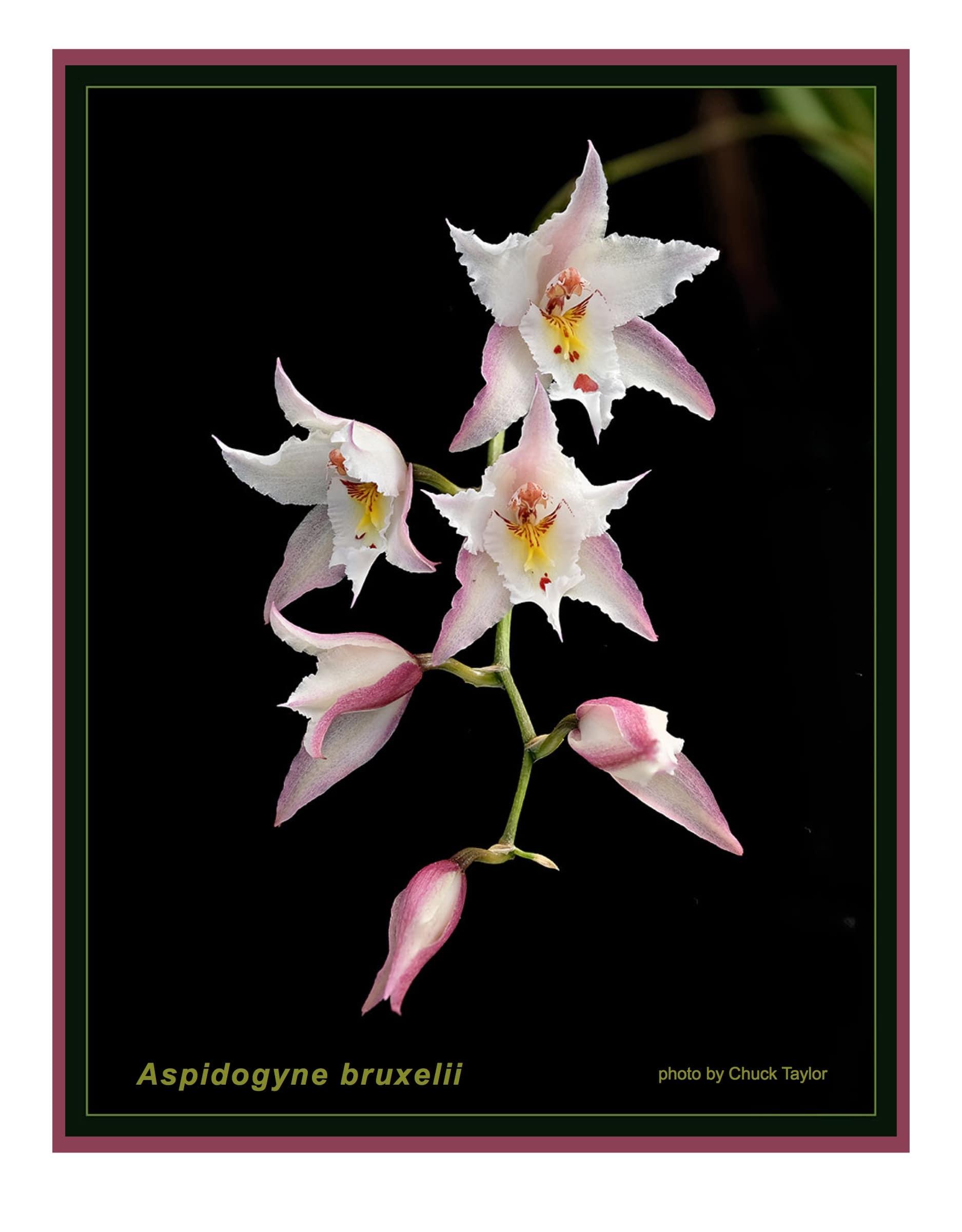Aspidogyne bruxelii